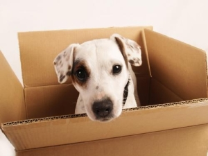 moving_box_with_dog.305165606_std