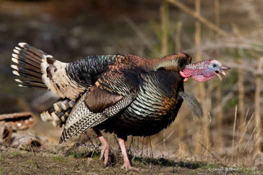 2127_1wild_turkey__merriams_08634d