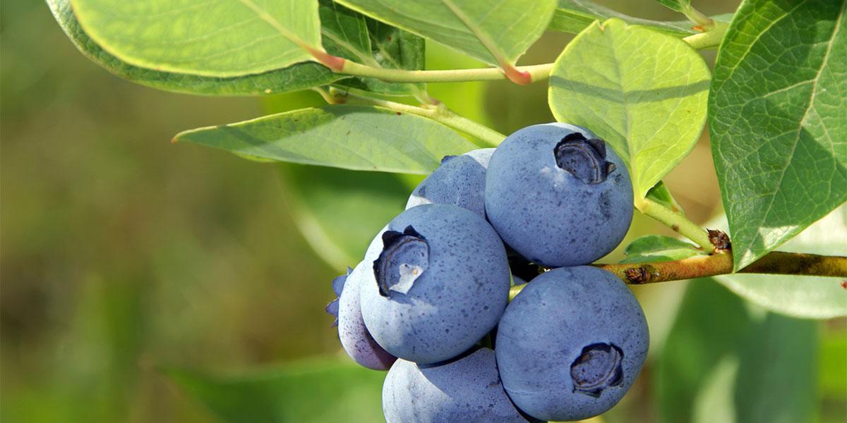 figure-blueberry