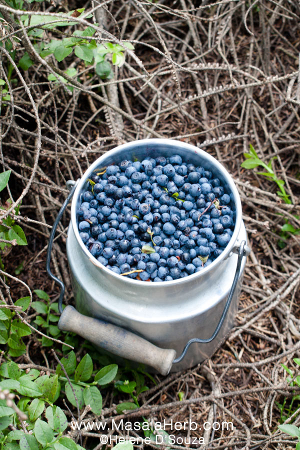 How-to-pick-wild-blueberries-4